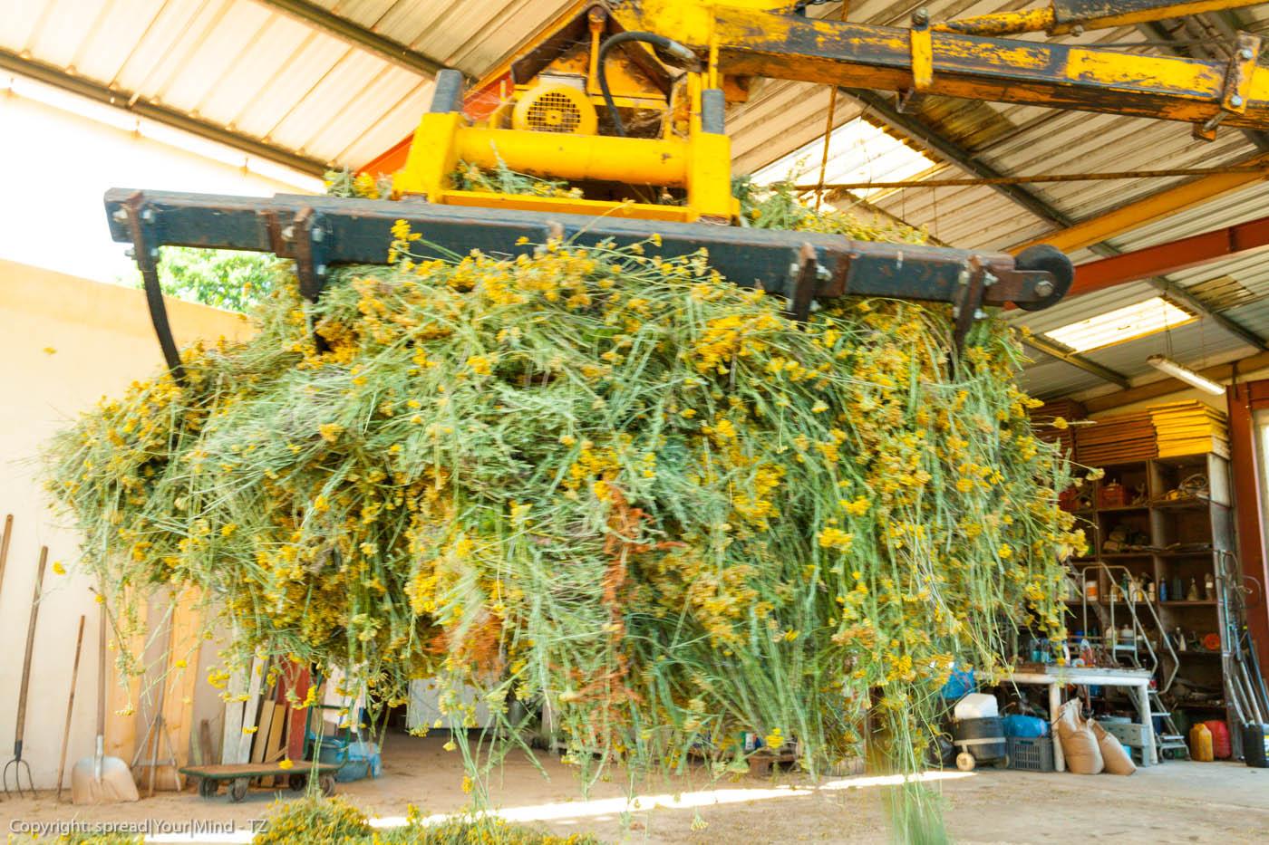 Helichryse italienne distillation